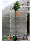 Robinia akacjowa UMBRACULIFERA szczepiona 180cm doniczka