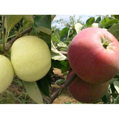 Jabłoń papierówka żółta i czerwona DUO 2w1