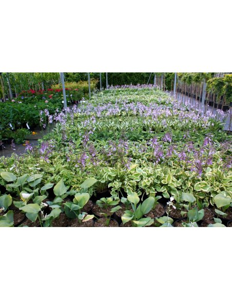 FUNKIA HOSTA WHITE FEATHER - 6