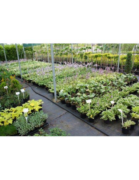 FUNKIA HOSTA WHITE FEATHER - 8