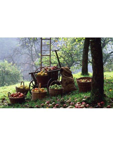 Jabłoń KOKSA POMARAŃCZOWA - 6
