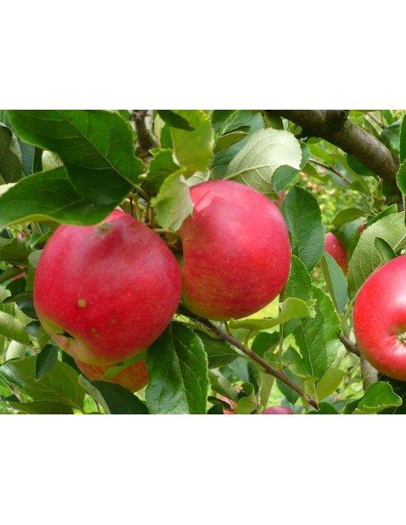 Jabłoń papierówka żółta i czerwona DUO 2w1 - 2