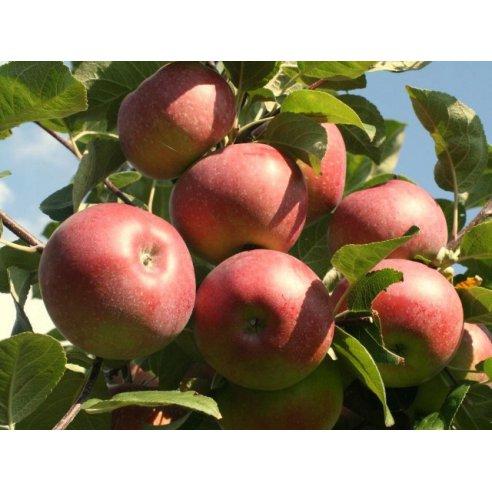 Jabłoń LOBO - 1