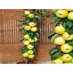 Jabłoń żółta KOLUMNOWA karłowa - 1