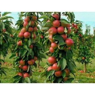 Jabłoń czerwona KOLUMNOWA karłowa - 1