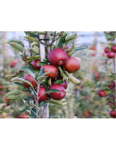 Jabłoń czerwona KOLUMNOWA karłowa - 2