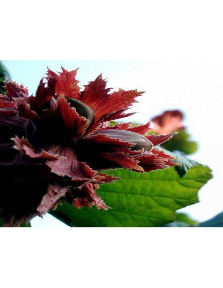 Orzech laskowy LAMBERTA czerwony szczepiony - 2