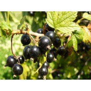 Porzeczka czarna TITANIA krzew W DONICZCE - 1