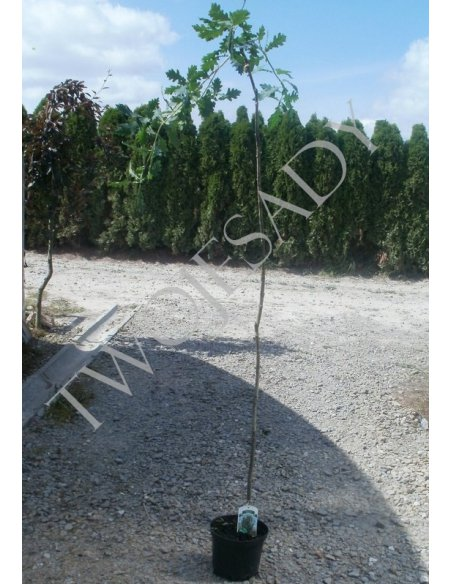 Dąb szypułkowy zwisający PENDULA 170cm doniczka  - 5