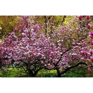 Magnolia BETTY 50 cm doniczka