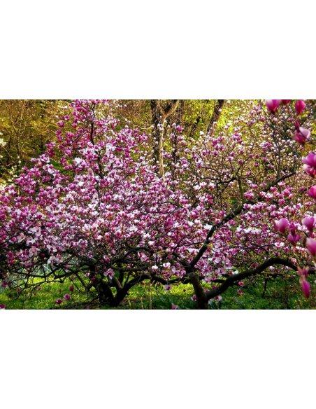 Magnolia BETTY - 1