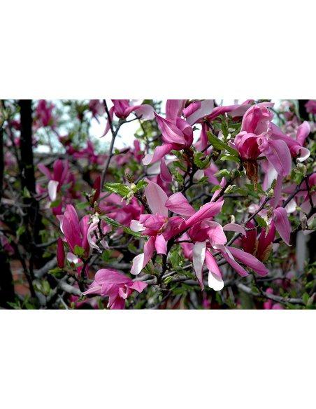 Magnolia BETTY - 2