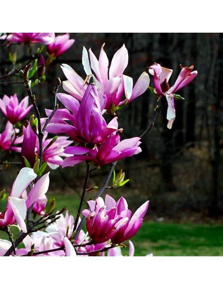 Magnolia BETTY - 3
