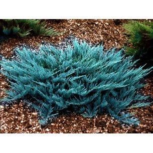 Jałowiec płożący BLUE CHIP - 1