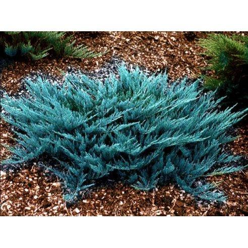 Jałowiec płożący BLUE CHIP 40cm doniczka