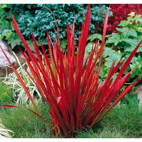 Imperata czerwona trawa RED BARON 40cm doniczka