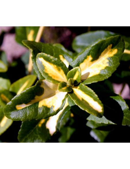 Trzmielina fortunei SUNSPOT 30 cm doniczka