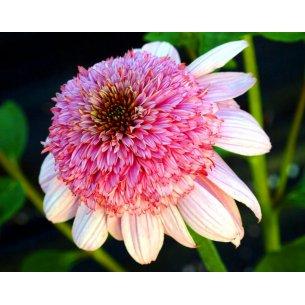 Echinacea jeżówka SECRET ROMANCE doniczka