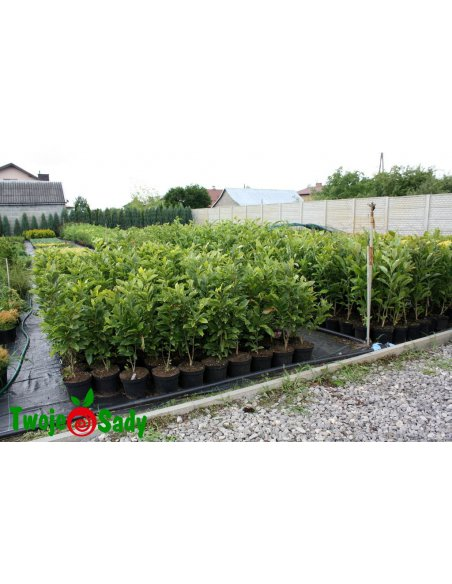Magnolia SOULANGEANA - 3