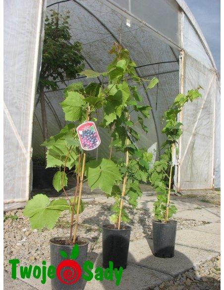 Winogrona białe BIANCA - 5