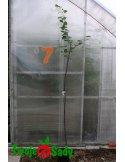 Lipa drobnolistna GREENSPIRE szczepiony 180cm doniczka
