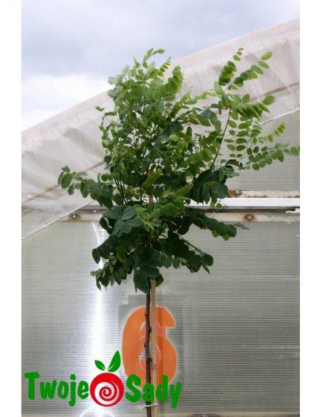 Robinia akacjowa UMBRACULIFERA - 4