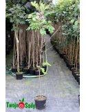 Robinia szczeciniasta HISPIDA 150cm doniczka