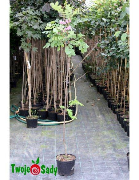 Robinia szczeciniasta HISPIDA 150cm doniczka - 3