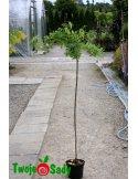 Robinia akacjowa TORTUOSA szczepiona 150cm doniczka