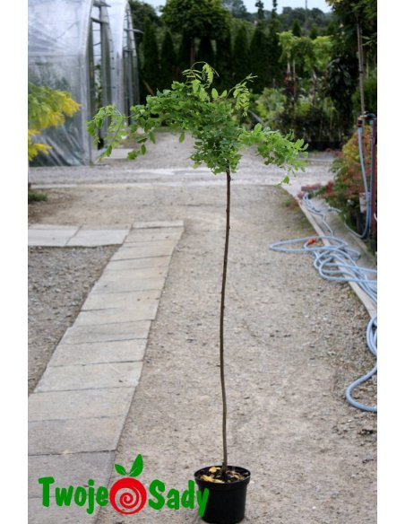 Robinia akacjowa TORTUOSA na pniu - 3
