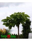 SURMIA CATALPA BIGNONIOWA NANA PA 180cm