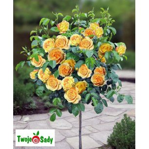 Róża na pniu angielska herbaciana 90cm