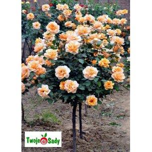Róża pnąca GHISLAINE DE FELIGONDE NA PNIU