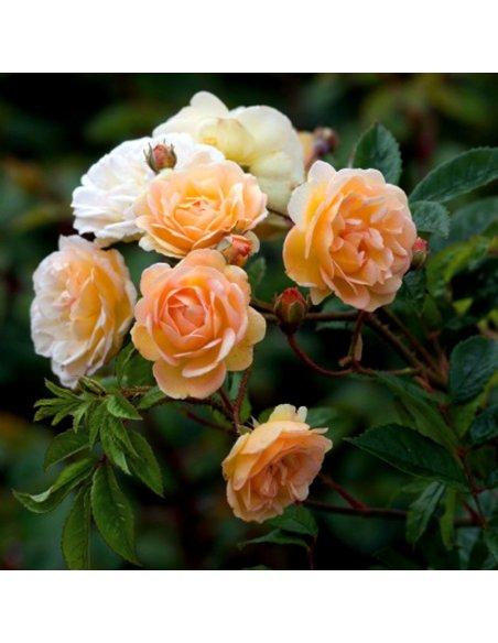 Róża pnąca GHISLAINE DE FELIGONDE