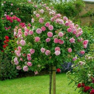 Róża parkowa na pniu JACQUES CARTIER 90cm