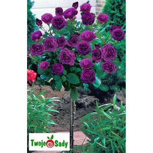 Róża na pniu REINE DES VIOLETTES 90cm