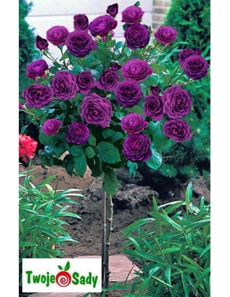 Róża REINE DES VIOLETTES NA PNIU