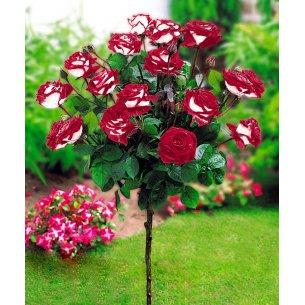 Róża na pniu podwójna przyjemność 90cm