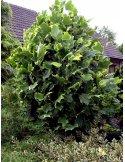 Tulipanowiec AUREOMARGINATUM 140cm szczepiony doniczka