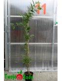 Wiśnia japońska AMANOGAWA 150cm doniczka