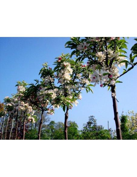 Jabłoń japońska POM ZAI 80cmsczepiona doniczka