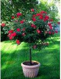 Róża na pniu czerwona niewymagająca