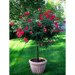 Róża kaskadowa czerwona niewymagająca! NA PNIU
