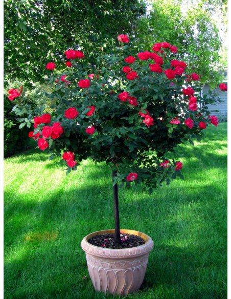 Róża na pniu czerwona niewymagająca 130cm