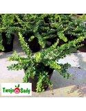 Berberys Thunberga GREEN CARPET 40cm doniczka