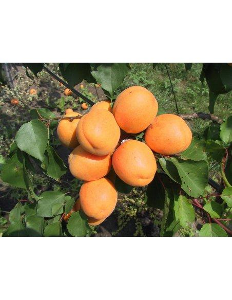 Morela i brzoskwinia DUO 2w1- dwie odmiany na jednym drzewku