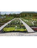 Dzwonek karpacki LAZUROWE kwiaty doniczka C1,5