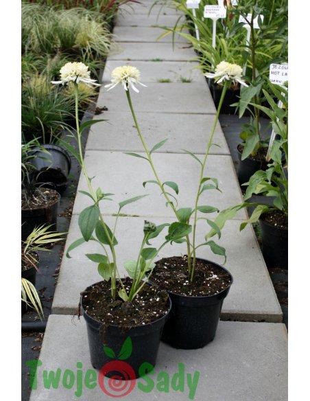 Echinacea jeżówka ALBA