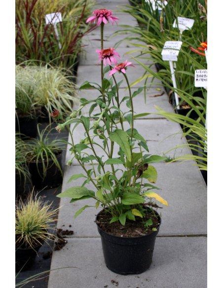 Echinacea jeżówka PRAIRIE SPLENDOR