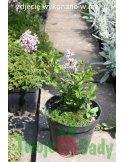 Lilak PALIBIN miniaturka krzew doniczka